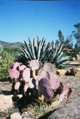 The purple cactus on Meditation Mount in Ojai, CA.